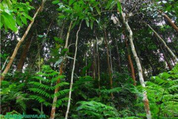 Các vùng trồng cây quế rừng nổi tiếng ở Việt Nam