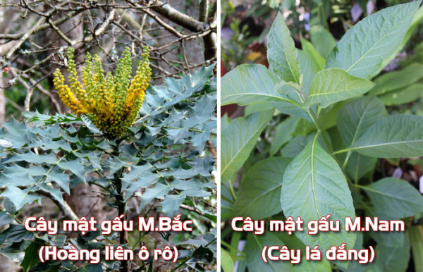 phan-biet-cay-mat-gau-mien-bac (1)