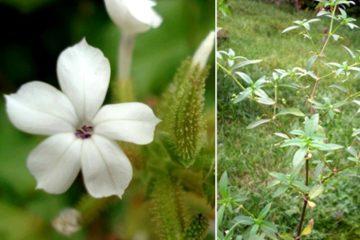Phân biệt bạch hoa xà thiệt thảo và bạch hoa xà