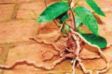 Hình ảnh cây ba kích tím chi tiết