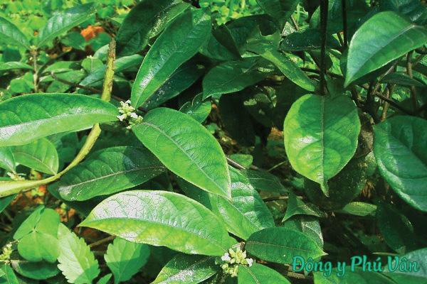 Hình ảnh cây ba kích tím 1