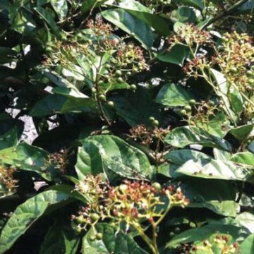 Cây xạ đen – cây ung bướu